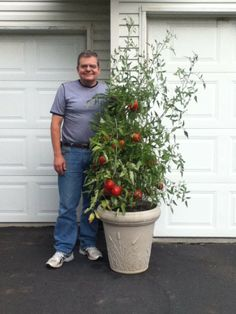 Tomatoes in a container garden! Wow, he did great! More helpful info at http://www.tomatodirt.com/growing-tomatoes-in-pots.html.