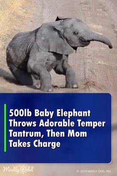Baby Elephant Throws Adorable Temper-Tantrum, Mom Takes Charge Funny Elephant Videos, Baby Elephant Video, Elephant Gif, Mom And Baby Elephant, Indian Elephant, Zoo Animals, Funny Animals, Nature Animals, Cute Animals
