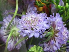 Scabiosa Pin Coushion Lavender $7.5/bu