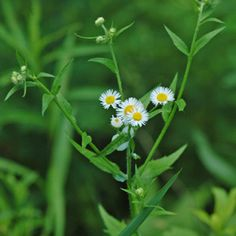 Eastern Daisy Fleabane (Erigeron annuus (L.) Pers.) - leaves edible, medicinal. See other pins on this board https://www.pinterest.com/confetticrafts/wild-native-edible-florida-plants-weeds/ for more details.