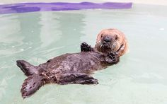 A rescued otter, named Luna, learns to swim for the first time. Initially the young otter flapped around in the water struggling to get to grips with the task, but the pup was  soon thriving under the tutelage of staff at the Shedd Aquarium in Chicago, Illinois, US and was later seen  holding a variety of objects and diving into the water gleefully.