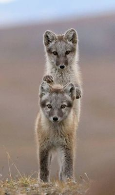 Russian Arctic. Wrangel Island. Young arctic foxes