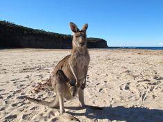 Pebbly Beach, New South Wales, Australia. A beach where kangaroos like to hang out.