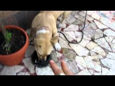 "かわいい犬 Puppy attacks water bowl:):):) funny!!!: ""Loveeeee this puppy"""
