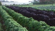the Grünkohl (kale) season is about to start :-)