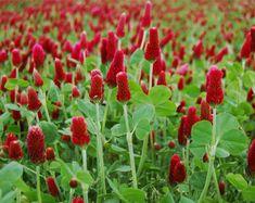 Crimson Clover (Trifolium incarnatum) ORGANIC | Cotswold Grass Seeds Direct