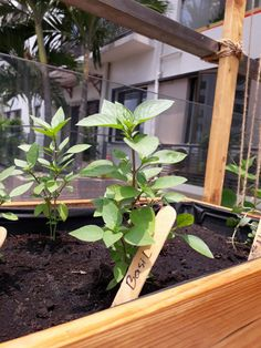 Basil in wooden planter