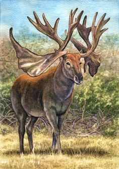 Art illustration - Prehistoric Mammals - Cervalces scotti: is an extinct deer genus that lived during the Pliocene and Pleistocene epochs. It had a deer-like face but a moose's body, It was slightly larger than the moose, with an elk-like head, long legs,It reached 2.5 m (8.2 ft) tall and weighing 708.5 kg (1,562 lbs). The species became extinct approximately 11,500 years ago, toward the end of the most recent ice age, as part of a mass extinction of large North American.