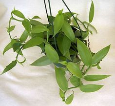 Vanilla Orchid plant in 5 inch hanging basket