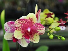 Hawaii Orchid 002