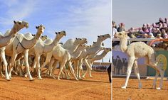 World's most beautiful CAMEL to be crowned in £25m Saudi contest