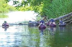 You can decoy wood ducks as long as you don't treat them like mallards. Find out how to decoy wood ducks at Wildfowl.