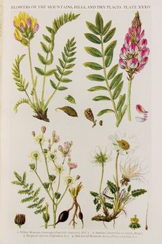 Antique Botanical Print : British Wild Flowers of Mountains