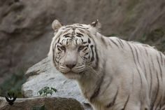 The white tiger visit http://kmphotography.eu for more pictures!