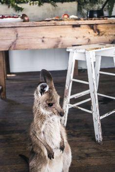 honey baby kangaroo | photo kara rosenlund