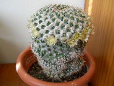 Plantas para hombres: Mammillaria celsiana
