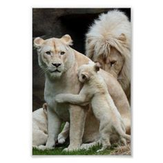 Just Beautiful - Lion family - Big Cats family Love ! Animals And Pets, Baby Animals, Funny Animals, Cute Animals, Wild Animals, Beautiful Cats, Animals Beautiful, Beautiful Family, Beautiful Things