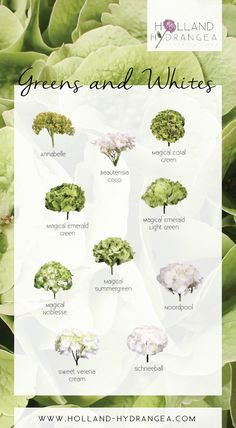Beautiful Greens and Whites |  Holland Hydrangea: share the beauty of Dutch Hydrangea! | www.holland-hydrangea.com