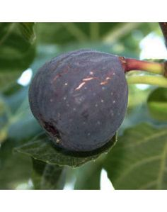 The Sultane fig tree produces a medium sized dark purple/black fig that ripens throughout Autumn. Old Trees, Small Trees, Fruit Garden, Garden Plants, Hardy Kiwi, Kiwi Vine, Strawberry Color, Black Fig, Wild Blueberries