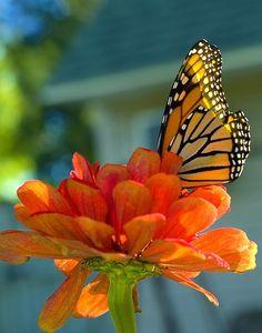 Monarch butterfly on a zinnia
