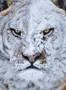 Tiger after a snow fight