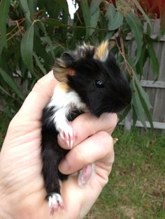Three day old guinea Pig how cute is he - cutie baby!!!