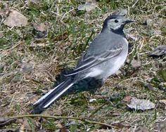 Sädesärla, Motacilla alba - Fåglar - NatureGate