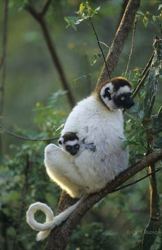 Baby and adult lemur