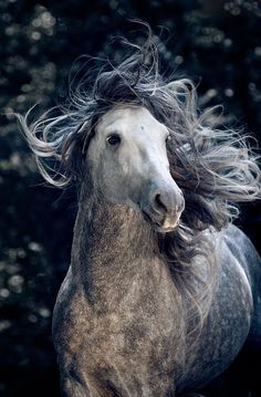 Spiritual, grey beauty, horse, hest, movement, wild, beautiful, gorgeous, photograph, photo