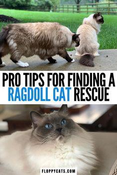 Pro tips for finding a ragdoll cat rescue | Where to Find a Ragdoll Cat | Ragdoll Cats and Kittens | Ragdoll Kittens for Sale | Ragdoll Cats for Sale | Adopting a Ragdoll | Ragdoll Cats and Kittens for Sale | Ragdoll Rescue #ragdollcatsforsale #ragdollrescue #ragdollcatrescue Ragdoll Cat Rescue, Ragdoll Cats For Sale, Kitten For Sale, Cute Cats And Kittens, Cute Cat Names, Kitten Names, Ragdoll Cat Colors, Kitten Gif, Cat Behavior