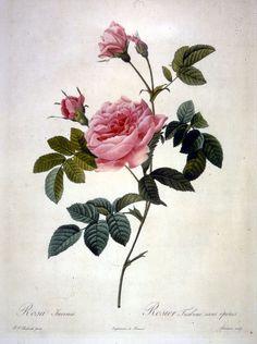 redoute, old illustration, flower, floral, flowers, picture, old, poster, illustration, vintage