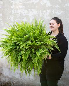 #fern #bostonfern #swordfern # feriga Ferns, Magnolia, Plants, Magnolias, Plant, Planets