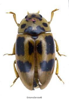 Mycotretus maculatus