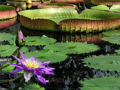 HOW TO GROW WATER LILIES |The Garden of Eaden