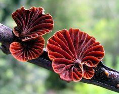 Anthracophyllum archeri fungi