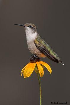 Cute hummingbird sitting on a flower BirdPhotographers.Net - I't Ain't Just Birds! - BirdPhotographers.Net