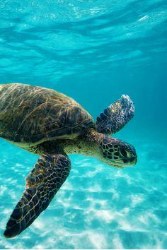 A Hawaiian Green Sea Turtle swimming at Kua Bay on the Big Island of Hawaii.