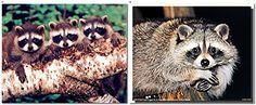 Cute Raccoon Sitting on a Tree Wildlife Animal Two Set Wa... https://www.amazon.com/dp/B01IFBPRDA/ref=cm_sw_r_pi_dp_x_D3zOxbTSE4A87