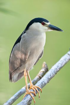 Black Crowned Night Heron by Hildebrand photography.  Can often be found nesting in your own back yard.