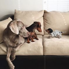 Meet this Cuddly Duo that use to be inseparable. Harlow the Weimaraner and Indiana the Dachshund they take naps together, play together and eat together. They had a perfect life. Harlow and Indiana laugh together a lot. Before Indiana arrived, Animals And Pets, Baby Animals, Funny Animals, Cute Animals, Cute Puppies, Cute Dogs, Dogs And Puppies, Adorable Babies, Weenie Dogs