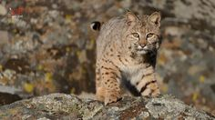 Bobcat (Lynx rufus) The colour ranges from light grey to reddish brown,though melanistic,albino (blue-eyed white) and leucistic(dark-eyed white)Bobcats have been found. It has black spots on the legs and black markings on the face (black-nosed Bobcats have been reported)