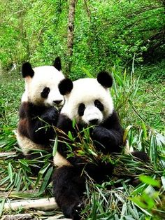This picture shows the pandas in Chengdu. In factt, Chengdu is also the hometown of panda. There is a panda base there. And these pandas in picture are really cute. Vida Animal, Mundo Animal, My Animal, Animals Of The World, Animals And Pets, Baby Animals, Cute Animals, Wild Animals, Panda Bebe