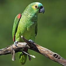 Papagaio verdadeiro
