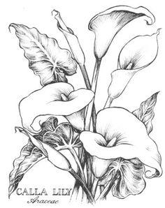 Calla Lilies Drawing <b>calla lilies</b>, <b>lilies</b> and <b>drawings</b> on pinterest