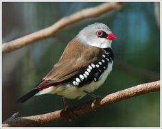 https://flic.kr/p/m8BMA   Diamond Firetail   I had to reach back into the archives. My iMac G5 was tango-uniform for most of last week (can someone please remind me why I had to buy a Mac again???) This is a captive bird in a beautiful place called Featherdale Wildlife Park just north of Sydney, Australia. I'm just like most people in that I prefer to find birds in the wild, in their natural habitats. But when you are strapped for time and are lucky enough to be in a beautiful place…