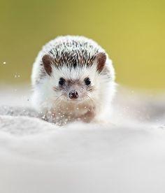 "beautiful-wildlife: "" African Pygmy Hedgehog by Jirí Míchal """