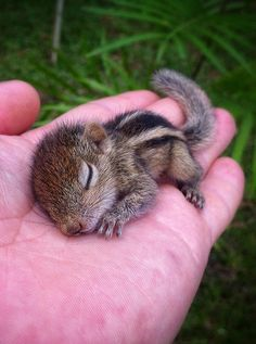 Baby chipmunk in persons hand