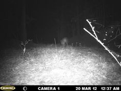 This is another pig. It's hard to tell the size because of the distance. Hog Hunting, Alabama Outdoors, Wildlife, Trail Cam.