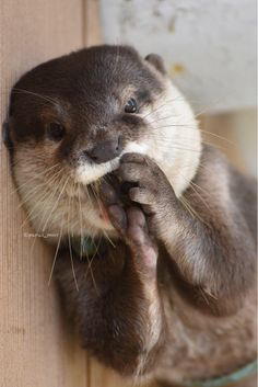 So cute!!!  For more cute otters, check out my page https://www.pinterest.com/Mlusje/otters-/  Source: https://twitter.com/parus_mnr/status/630151484697501696