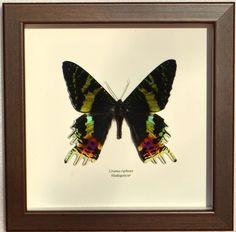 Papillon urania naturalisé encadré